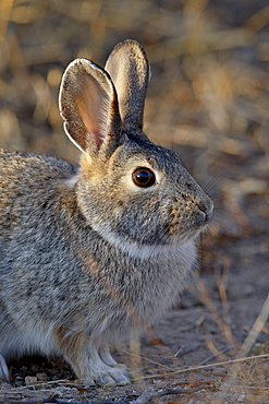 Desert Cottontail (Sylvilagus audubonii), City of Rocks State Park, New Mexico, United States of America, North America
