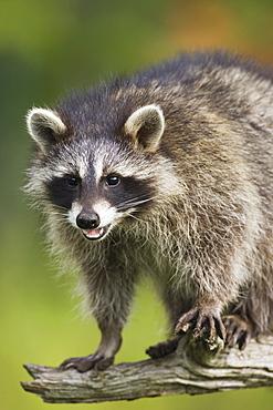 Raccoon (racoon) (Procyon lotor), in captivity, Minnesota Wildlife Connection, Sandstone, Minnesota, United States of America, North America