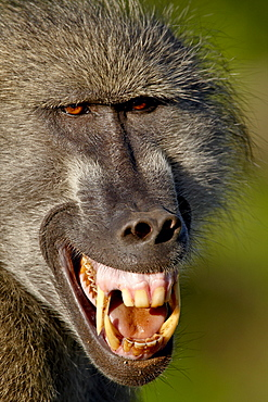 Chacma Baboon (Papio ursinus) baring its teeth to show aggression, Kruger National Park, South Africa, Africa