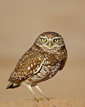 Burrowing owl (Athene cunicularia), Salton Sea, California, United States of America, North America