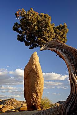 Juniper and boulder, Joshua Tree National Park, California, United States of America, North America