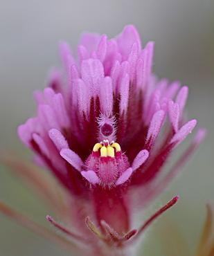 Purple Owl's Clover (Exserted Indian Paintbrush) (Escobita) (Castilleja exserta), Organ Pipe Cactus National Monument, Arizona, United States of America, North America