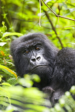 Adult female mountain gorilla (Gorilla gorilla beringei), Group 13, Volcanoes National Park (Parc National des Volcans), Rwanda, Africa