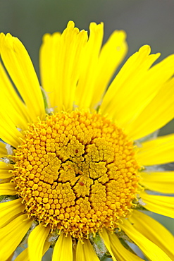Old man of the mountain or Alpine sunflower (Hymenoxys grandiflora), Mount Evans, Colorado, United States of America, North America