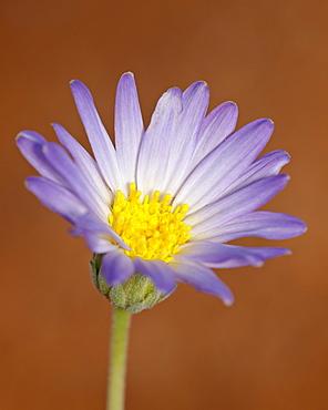 Utah daisy (Erigeron utahensis), Canyon Country, Utah, United States of America, North America