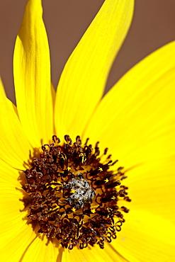Prairie sunflower (Helianthus petiolaris), The Needles District, Canyonlands National Park, Utah, United States of America, North America