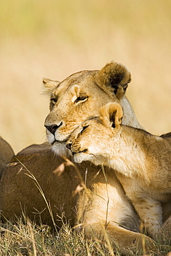 Lioness and cub (Panthera leo) showing affection, Masai Mara Game Reserve, Kenya, East Africa, Africa