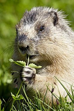 Hoary marmot (Marmota caligata) eating, Glacier National Park, Montana, United States of America, North America