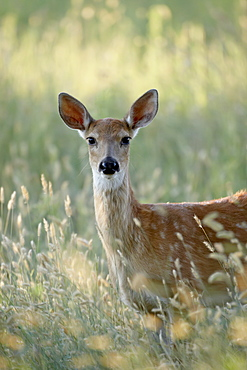 Whitetail deer (Odocoileus virginianus) doe, Devil's Tower National Monument, Wyoming, United States of America, North America