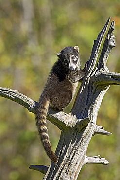 Captive coati (Nasua narica), Minnesota Wildlife Connection, Sandstone, Minnesota, United States of America, North America