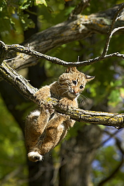 Young bobcat (Lynx rufus) hanging onto a branch, Minnesota Wildlife Connection, Sandstone, Minnesota, United States of America, North America