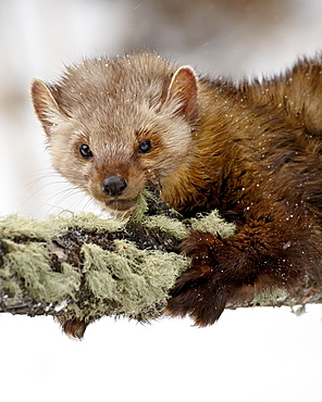 Captive fisher (Martes pennanti) in a tree in the snow, near Bozeman, Montana, United States of America, North America
