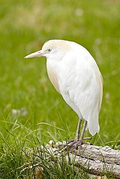 Cattle egret (Bubulcus ibis) in breeding plumage in captivity, Rio Grande Zoo, Albuquerque Biological Park, Albuquerque, New Mexico, United States of America, North America