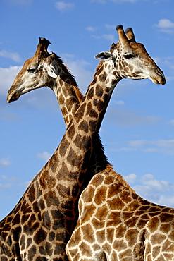 Two male Cape giraffe (Giraffa camelopardalis giraffa) fighting, Imfolozi Game Reserve, South Africa, Africa