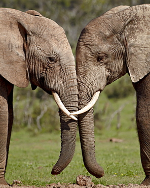 Two African elephant (Loxodonta africana) face to face, Addo Elephant National Park, South Africa, Africa