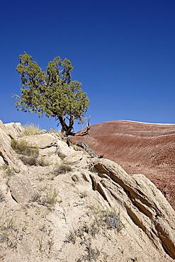 Juniper in the badlands, Capitol Reef National Park, Utah, United States of America, North America
