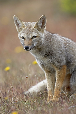 Gray fox (Patagonian fox) (Pseudalopex griseus), Torres del Paine, Chile, South America