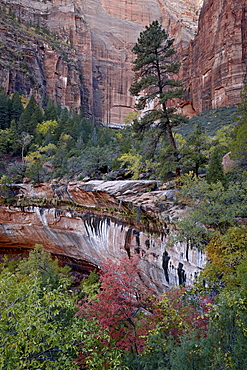 Evergreens, red maples, and red rock on the Emerald Pools Trail, Zion National Park, Utah, United States of America, North America