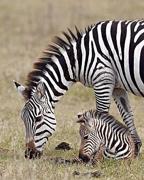 Common zebra (Burchell's zebra) (Equus burchelli) mare and colt, Ngorongoro Crater, Tanzania, East Africa, Africa