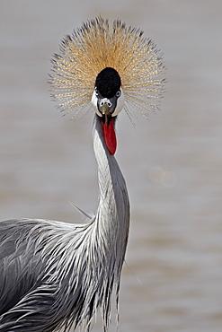 Grey crowned crane (Southern crowned crane) (Balearica regulorum), Serengeti National Park, Tanzania, East Africa, Africa