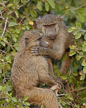 Two young Olive baboons (Papio cynocephalus anubis), Serengeti National Park, Tanzania, East Africa, Africa