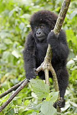 Infant mountain gorilla (Gorilla gorilla beringei) from the Kwitonda group climbing a vine, Volcanoes National Park, Rwanda, Africa