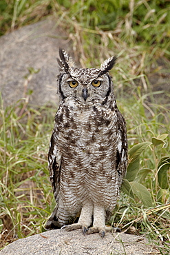 Spotted eagle owl (Bubo africanus) with its eyes open, Serengeti National Park, Tanzania, East Africa, Africa