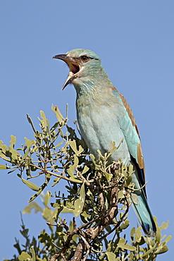 European roller (Coracias garrulus) calling, Kruger National Park, South Africa, Africa