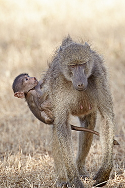 Infant Chacma baboon (Papio ursinus) climbing up on its mother's back, Kruger National Park, South Africa, Africa