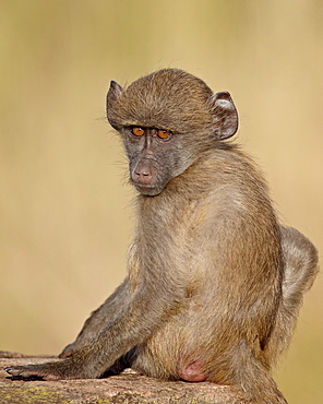 Infant Chacma baboon (Papio ursinus) on its mother's back, Kruger National Park, South Africa, Africa