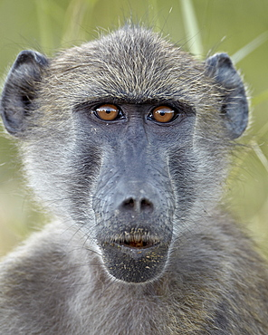 Young Chacma baboon (Papio ursinus), Kruger National Park, South Africa, Africa