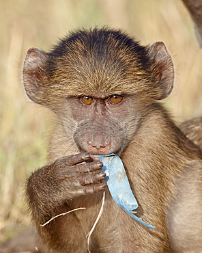 Young Chacma baboon (Papio ursinus) chewing on a piece of plastic, Kruger National Park, South Africa, Africa