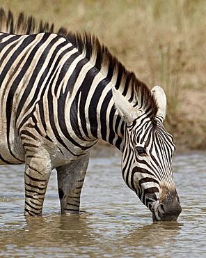 Chapman's zebra (Plains Zebra) (Equus burchelli antiquorum) drinking, Kruger National Park, South Africa, Africa