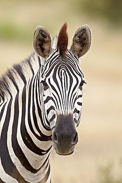 Chapman's zebra (Plains zebra) (Equus burchelli antiquorum), Kruger National Park, South Africa, Africa