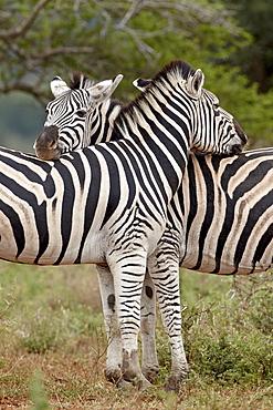 Two Chapman's zebra (plains zebra) (Equus burchelli antiquorum), Imfolozi Game Reserve, South Africa, Africa