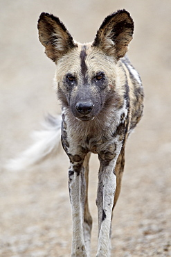 African wild dog (African hunting dog) (Cape hunting dog) (Lycaon pictus), Hluhluwe Game Reserve, South Africa, Africa
