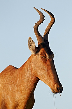 Red hartebeest (Alcelaphus buselaphus), Addo Elephant National Park, South Africa, Africa