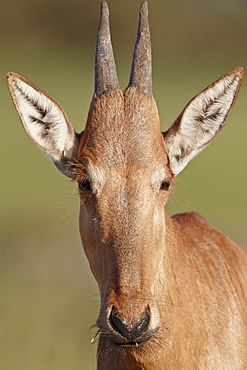 Young red hartebeest (Alcelaphus buselaphus), Addo Elephant National Park, South Africa, Africa
