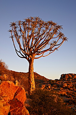 Quiver Tree (Kokerboom) (Aloe dichotoma), Namakwa, Namaqualand, South Africa, Africa