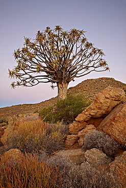 Quiver tree (Kokerboom) (Aloe dichotoma) at dusk, Namakwa, Namaqualand, South Africa, Africa