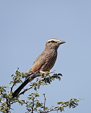 Rufus-crowned roller (purple roller) (Coracias naevia), Kgalagadi Transfrontier Park, encompassing the former Kalahari Gemsbok National Park, South Africa, Africa