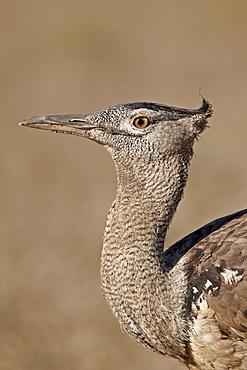 Kori bustard (Ardeotis kori), Kgalagadi Transfrontier Park, encompassing the former Kalahari Gemsbok National Park, South Africa, Africa