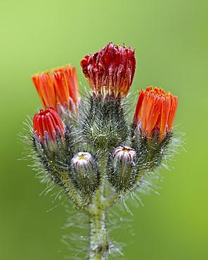 Orange hawkweed (fox-and-cubs) (tawny hawkweed) (Devil's paintbrush) (Grim-the-Collier) (Pilosella aurantiaca), Idaho Panhandle National Forests, Idaho, United States of America, North America