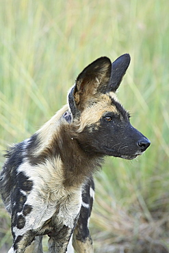African wild dog (Lycaon pictus), Pilanesberg National Park, South Africa, Africa