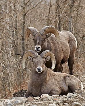 Two bighorn sheep (Ovis canadensis) rams during the rut, Clear Creek County, Colorado, United States of America, North America