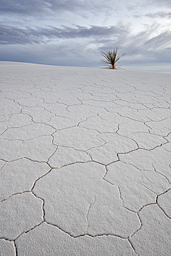 Cracked sand dune with a yucca, White Sands National Monument, New Mexico, United States of America, North America