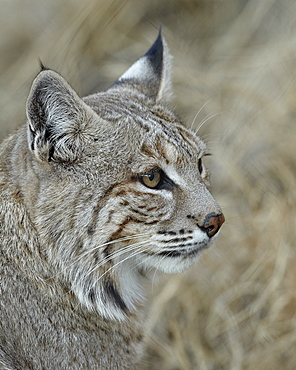 Bobcat (Lynx rufus), Living Desert Zoo And Gardens State Park, New Mexico, United States of America, North America