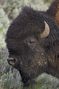 Bison (Bison bison) bull, Yellowstone National Park, Wyoming, United States of America, North America