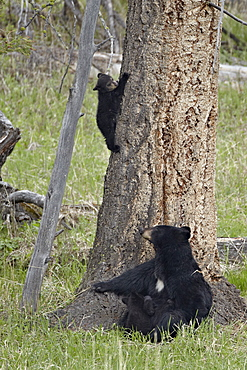 Black bear (Ursus americanus) sow and two cubs-of-the-year, one nursing and one coming down from a tree, Yellowstone National Park, Wyoming, United States of America, North America