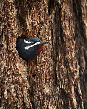 Male Williamson's sapsucker (Sphyrapicus thyroideus) poking out of its nest hole, Yellowstone National Park, Wyoming, United States of America, North America